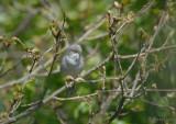 Barred Warbler / Sylvia nisoria / Höksångare