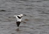Pied Avocet / Recurvirostra avosetta / Skärfläcka