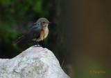 Redstart / Phoenicurus phoenicurus / Rödstjärt