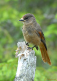 Siberian Jay / Perisoreus infaustus / Lavskrika