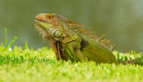 Backyard Visitor (Iguana)