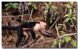 White face monkey 2