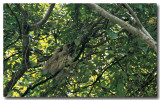 Two-toed sloth 2