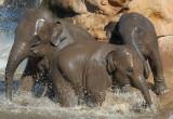 - 1st may 2007 - Elephants at play