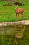 Gerenuk - Portland Zoo