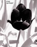 IR Tulip