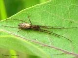 Tetragnatha sp. - Long-jawed Spider A1.jpg