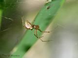 Pityohyphantes phrygianus - Sheetweb Spider 1.jpg