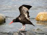 Black Oystercatcher 2.jpg