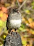 Dark-eyed Junco 17.jpg