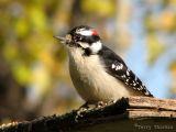 Downy Woodpecker 14.jpg