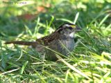 White-throated Sparrow 12.jpg