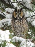 Long-eared Owl 2.jpg