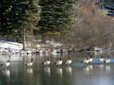 Canada Geese on the ice 1.jpg