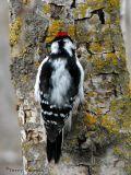 Downy Woodpecker 17.jpg