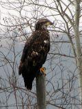 Bald Eagle 3rd year bird 2a.jpg