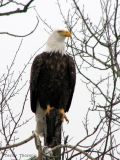 Bald Eagle 8a.jpg