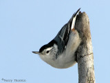 White-breasted Nuthatch 1.jpg