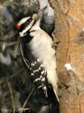 Hairy Woodpecker 7a.jpg