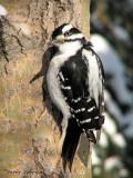 Hairy Woodpecker 6.jpg