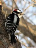 Downy Woodpecker male 1.jpg