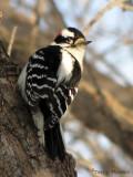 Downy Woodpecker male 2.jpg