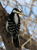 Hairy Woodpecker female 1.jpg