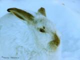 White-tailed Jackrabbit 1.jpg