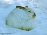 White-tailed Jackrabbit 2.jpg