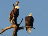 Bald Eagles 4a.jpg