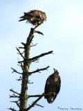 Bald Eagles 2nd year birds 2a.jpg
