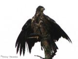 Bald Eagle juvenile drying off 3b.jpg