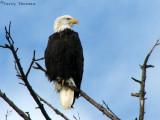Bald Eagle 1a.jpg