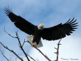 Bald Eagle taking off 1a.jpg