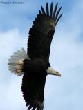 Bald Eagle in flight 1b.jpg