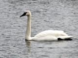 Trumpeter Swan 1a.jpg