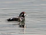 Harlequin Duck 2a.jpg