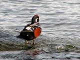 Harlequin Duck 8a.jpg