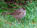 Golden-crowned Sparrow 1a.jpg