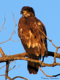 Bald Eagle 2nd year bird 5.jpg