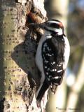 Hairy Woodpecker 12.jpg