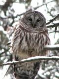 Barred Owl 2a.jpg