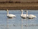 Tundra Swans 1a.jpg