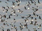 Geese in flight 1a.jpg
