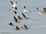 Geese in flight 2a.jpg