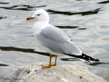 Ring-billed Gull 27a.jpg