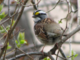 White-throated Sparrow 1a.jpg