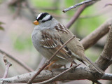 White-crowned Sparrow 3a.jpg