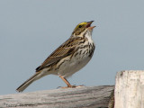 Savannah Sparrow 8a.jpg
