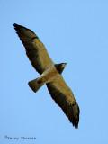 Swainsons Hawk in flight 8a.jpg